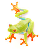 Red eyed tree frog an animal with vibrant eyes Royalty Free Stock Photo