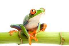 Red-eyed tree frog on bamboo Royalty Free Stock Photo