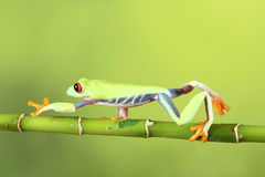Red eyed tree Frog on bamboo Royalty Free Stock Image