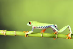 Red eyed tree Frog on bamboo Royalty Free Stock Photo