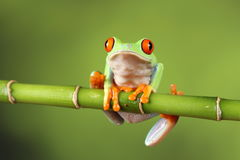 Red eyed tree Frog on bamboo Royalty Free Stock Images