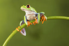 Red Eyed Tree Frog on Bamboo Stock Photography