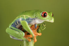 Red Eyed Tree Frog on Bamboo Stock Images
