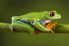 Red Eyed Tree Frog on Bamboo Royalty Free Stock Photos