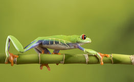 Red Eyed Tree Frog on Bamboo Stock Photos