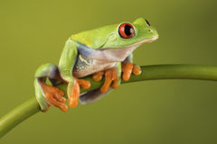 Red Eyed Tree Frog on Bamboo Stock Image