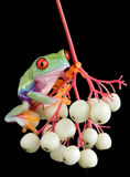 Red-eyed tree frog on berries. A baby red-eyed tree frog is sitting on a branch of berries Royalty Free Stock Images