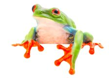 Red eyed tree frog blinking an eye. Looking sick sleepy tired or sad. A tropical animal from the Rain forest of Costa Rica isolated on shite background royalty free stock image