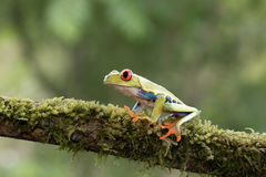Red-eyed tree frog on branch  Stock Images