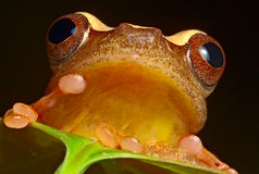 Red eyed tree frog brazil amazon jungle Stock Images