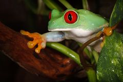 Nice red eyed tree frog between the plants. Red eyed tree frog carefully watching the environment between the plants leafs stock photos