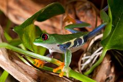 Red-eyed tree frog climbing. In terrarium Stock Images