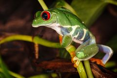 Red eyed tree frog climbs on the plant mast and looking down stock images