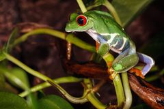 Red eyed tree frog climbs on the plant stem. And carefully watching the environment between the plants leafs royalty free stock photography