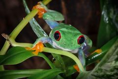 Red eyed tree frog climbs to us. Red eyed tree frog climbs between plants royalty free stock image