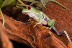 Red eyed tree frog climbs up. Red-eyed tree frog secretly sneak and climbs up on the branch Royalty Free Stock Image