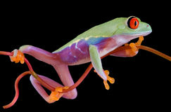 Red-eyed tree frog clinging to vine Stock Photography