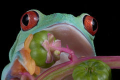 Red-eyed tree frog close-up Royalty Free Stock Photos