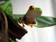 Red eyed tree frog 7 Stock Photo