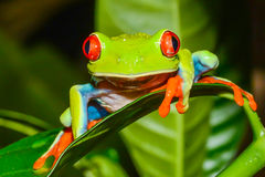 Red-eyed Tree Frog Stock Photography
