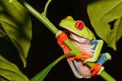 Red-eyed Tree Frog. A close up of a Red-eyed Tree Frog in Costa Rica Stock Photo