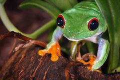 Red eyed tree frog and coconut. Red eyed tree frog on coconut nutshell stock photo