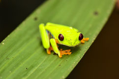 Red eyed tree frog. In Costa Rica Royalty Free Stock Image