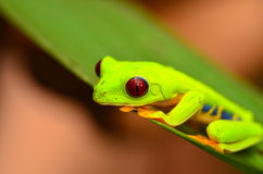 Red eyed tree frog. In Costa Rica stock photography