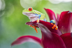 Red eyed tree frog Costa Rica rainforest animal Stock Photography