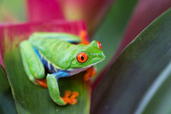 Red eyed tree frog Costa Rica Stock Photography