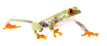 Red eyed tree frog crawling isolated on white Royalty Free Stock Photo