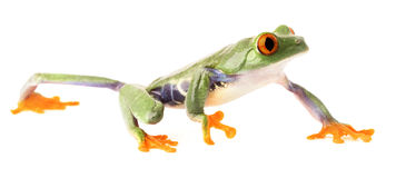 Red eyed tree frog crawling isolated on white Royalty Free Stock Photography