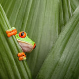 Red eyed tree frog curious animal green background