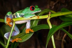 The red eyed tree frog dreaming about cricket. The red eyed tree frog lie on the plant stem and dreaming about cricket royalty free stock image