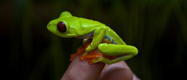 Red eyed tree frog. On a finger getting ready to jump Royalty Free Stock Photography