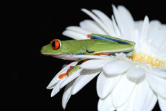 Red eyed tree frog and flower Stock Photo