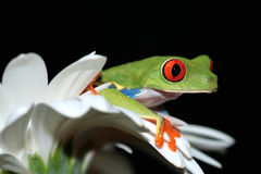 Red eyed tree frog and flower Stock Photos