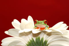 Red eyed tree frog and flower Royalty Free Stock Photos