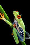 Red eyed tree frog and flower Stock Photography