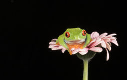 Red Eyed Tree Frog on Flower Royalty Free Stock Photo