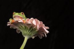 Red Eyed Tree Frog on Flower Stock Photos