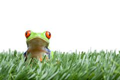Red-eyed tree frog in grass Stock Images