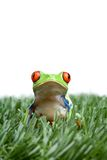 Red-eyed tree frog in grass Royalty Free Stock Images