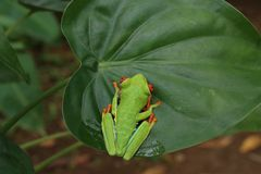 Red Eyed Tree Frog or Green Tree Frog. Red eyed tree frog or gaudy leaf frog or Agalychnis callidryas a arboreal hylid native to tropical rainforests in Central Royalty Free Stock Images