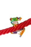 Red Eyed Tree Frog hanging on a licorice rope Stock Photography