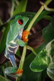 Red eyed tree frog is great clamber Stock Photography
