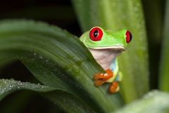 Red eyed tree frog hiding behind the leaf. Curious frog hiding behind the green leaf Stock Images