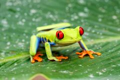 Free Red Eyed Tree Frog In Tortuguero Royalty Free Stock Images - 169622319