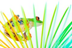 Red Eyed Tree Frog inside a colorful coil Royalty Free Stock Photography