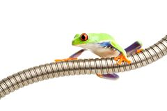 Red-eyed tree frog isolated Stock Image